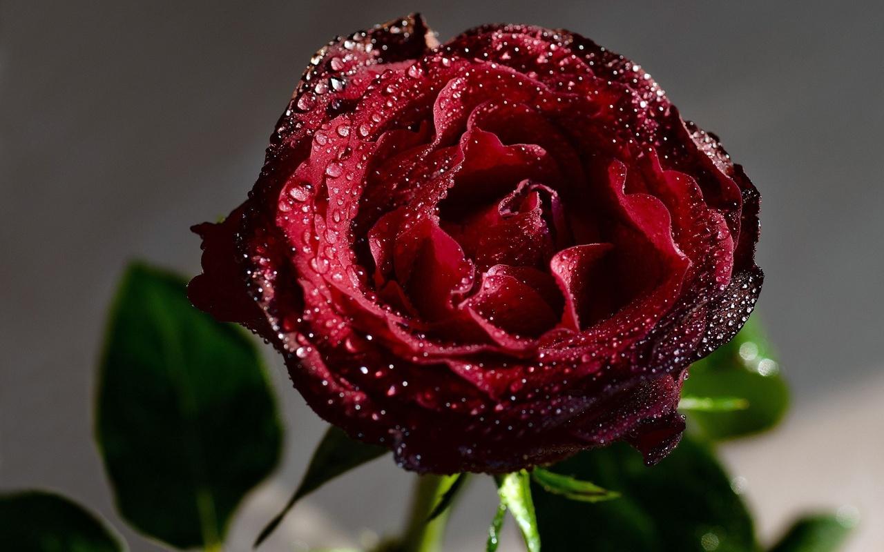 زیباترین عکس گل مریم